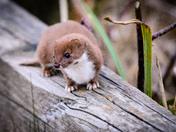 Chasing Weasel at Strumpshaw