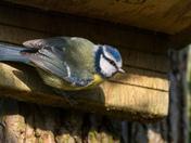 Strumpshaw Bird Snaps