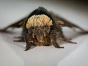 December Moth