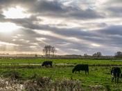 Buckenham Marsh Cattle