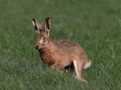 Hares  everywhere 1