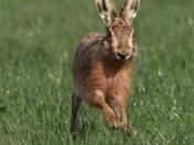 Hares everywhere 2
