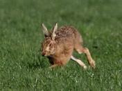 Hares everywhere 3