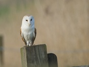 The Magnificent Barn Owl