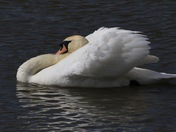Swans in all their glory.