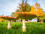 Fly Agaric, St Faith's Memorial Gardens