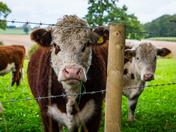 Blofield Bullocks