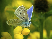 Common Blue on Yellow