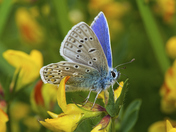 Common Blue on Yellow