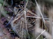 The very shy Woodcock