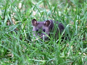Local Wildlife - young Rats