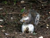 Local Wildslife - Grey Squirrel