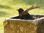 Starling takes an early morning bath.
