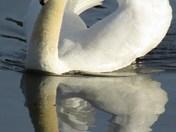 Reflection of beautiful swan