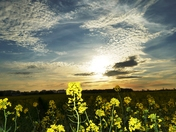 Evening sky over oilseed rape fields in Woolpit