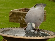 Thirsty pigeon takes a drink.