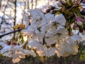 Blossom in setting sun