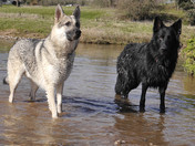 Our two German Shepherds Silva and Barclay