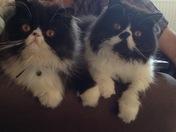 My Persian cats