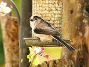 Long Tailed Tit on the peanut feeder.