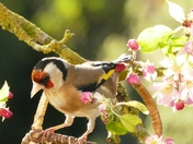 Goldfinch in the apple blossom,