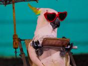 Pecker the Parrot