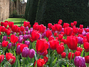 Tulips at The Old Vicarage Gardens, East Ruston