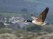 Goose Flight
