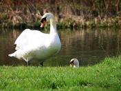 Pair of mute swans
