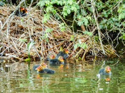 Coots, Egyptian Geese and their new families