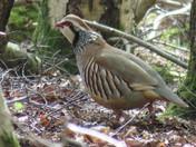 Red-Legged Partridge on the run