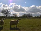 Sheep At Hill Farm Meadows Martlesham