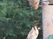 Squirrel & Goldfinch  i shall not be moved
