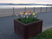 Tulips and daffodils in bloom, on the Exmouth Esplanade at dusk