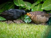 Fledgling loves currants ;-)