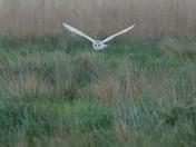 Strumpshaw Barn Owl