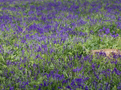 Bluebells at Blickling