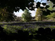 The Bluebell Field