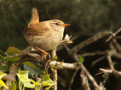 The little Wren