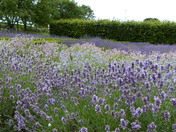 Norfolk Landmarks. Caley Mill, Norfolk Lavender