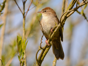 Cetti's Warbler portraits