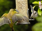 Long tailed Tit meets Greenfinch.