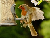 Robin struggles to stay on the feeder.