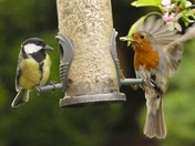 Great tit and Robin share the feeder.
