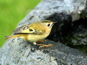 Britain's Smallest Bird