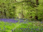 Beautiful bluebells