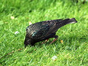 The Common Starling