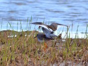 redshank cley marsh