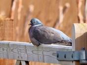 woodpigeon-greenfinch-shelduck cley marsh