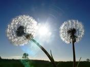 Dandelion seed heads in macro.